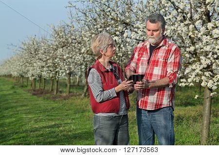 Farmer And Agronomist In Blossoming Plum Orchard