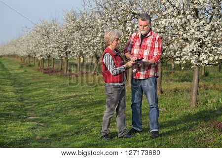 Agronomist and farmer examine blooming plum trees in orchard using tablet