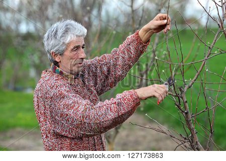 Worker Pruning Tree In Orchard, Agriculture