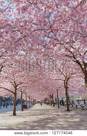 STOCKHOLM SWEDEN - APRIL 24 2016: The public park Kungstradgarden with beautiful blooming cherry tree avenue and distant people