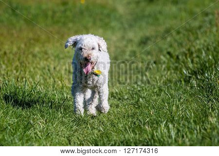 White Poodle On Meadow