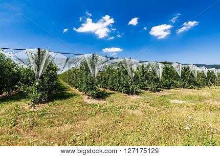 Apple Plantation In Switzerland On Summer