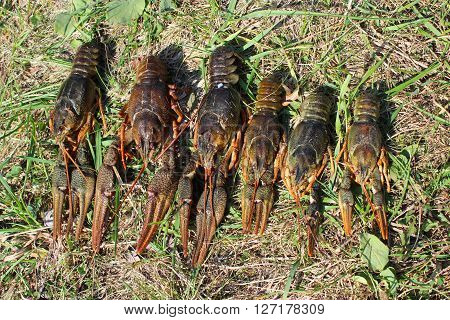 some river cancers lying on the grass