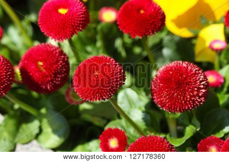 Red and filled cultivated daisies in a garden. ** Note: Visible grain at 100%, best at smaller sizes