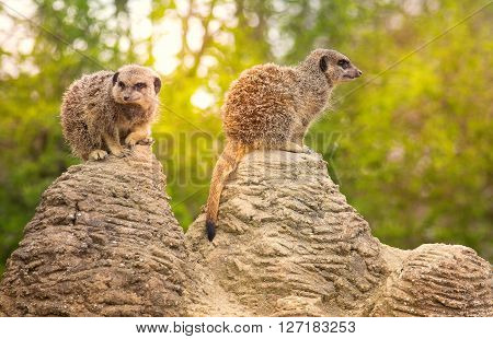 Two cute meerkats on the lookout in the zoo