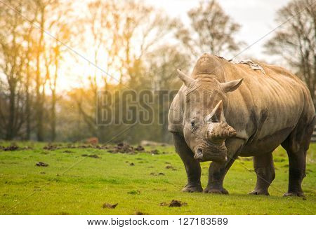 White rhinoceros on a field during sunset