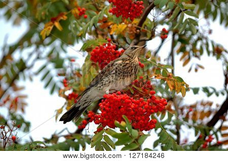 Blackbird on a branch of rowan eats ripe berries