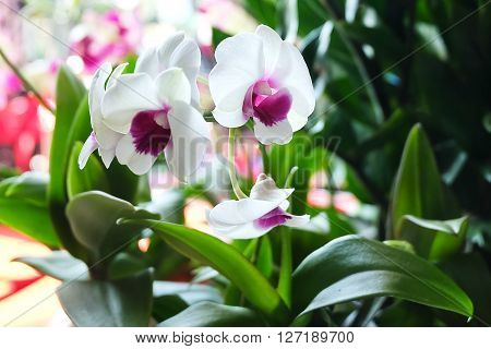 Flower and Plant Beautiful White Phalaenopsis or Pink Orchid Flower Streak For Garden Decor. Selective Focus