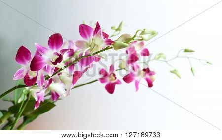 Flower and Plant Beautiful Pink Phalaenopsis or Pink Orchid Flower Streak.