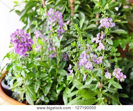 Beautiful Flower Purple Sage Flowers or Salvia Flowers with Green Leaves in Flower Pots.