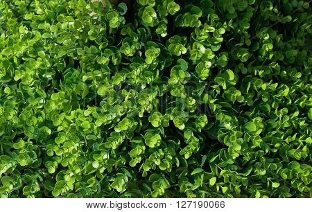 Background Pattern Beautiful Abstract Green Leaves Wall or Dark Green Bush Background.
