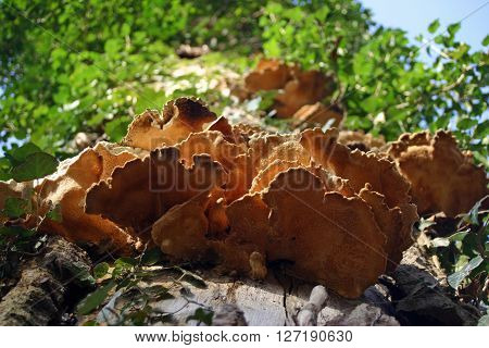 A series of bracket fungi growing out of a tree. Viewed from beneath. Background of tree trunk and leaves with a little blue sky.