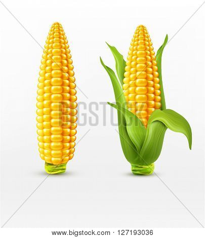 two corn. corn on the cob with leaves. design element