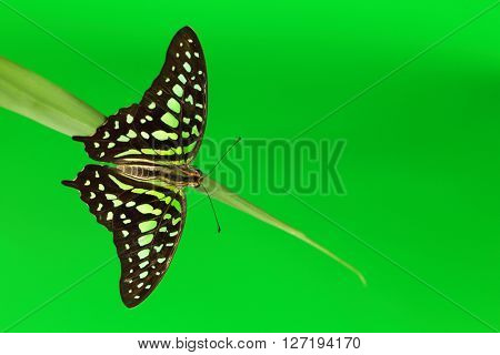 Graphium butterfly on green grass close up