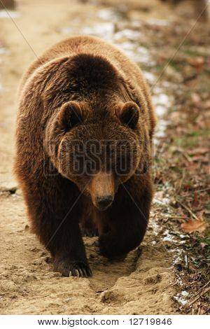 brown bear / Ursus arctos / urs carpatin