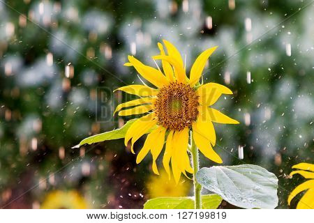 Sunflower under the rain. Natural summer background with bright yellow flower and raindrop.