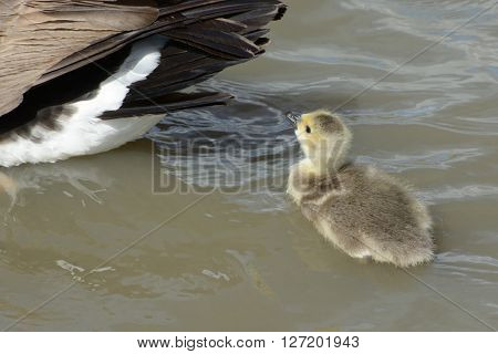 Close up of newborn baby Canada Goose gosling swimming behind parent om high wind day