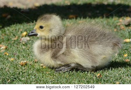 Newborn Canada goose gosling on lake shore next to parent's shadow