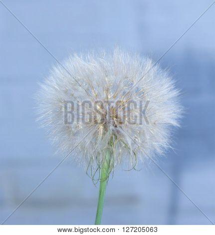 Dandelion, Spring Flower. Light Nature Background. Place For Text