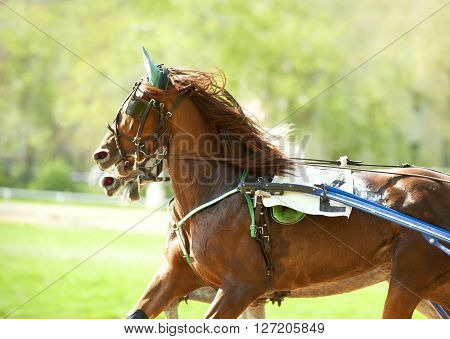 portrait of moving red horse running on a hippodrome track