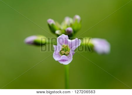 Cuckooflower or lady's smock (Cardamine pratensis). Perennial plant in the cabbage family (Brassicaceae) with close up of mauve flowers