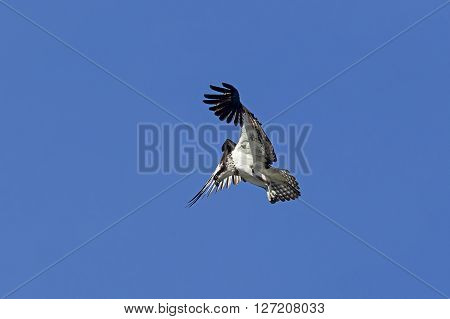 Osprey hovers in sky. An osprey in north Idaho is fluttering its wings up in a clear blue sky.