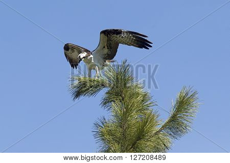A beautiful osprey is perched at the top of a pine tree in Fernan Idaho.