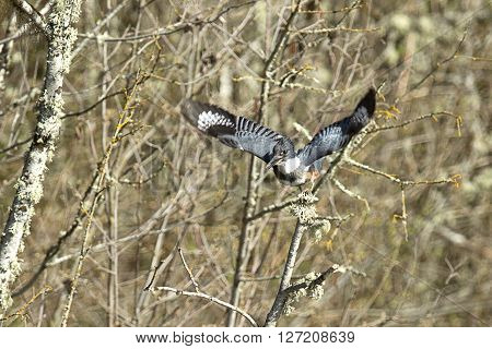 A kingfisher in north Idaho takes off in flight from a branch.