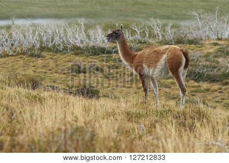 Guanaco (Lama guanicoe) standing amongst the vegetation of Torres del Paine National Park in Patagonia, Chile