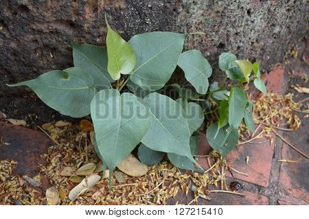 close up fresh green Ficus religiosa on the ground