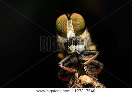 Robber fly eating on branch, The Robber fly on black backgruond