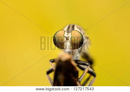Robber fly eating on branch, The Robber fly on yelow background