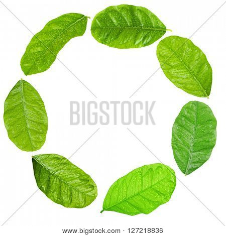 Green citrus leaves shaped as round frame isolated on white