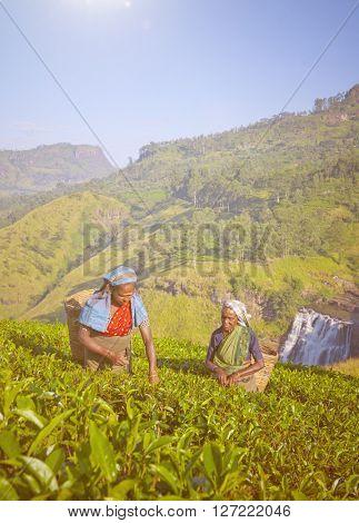 Sri Lankan women picking tea leaves.