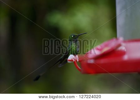 The Hummingbird  Feeding From The Red Feeder.