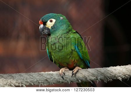 Blue-winged macaw (Primolius maracana), also known as the Illiger's macaw. Wild life animal.
