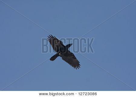 an adult of raven in flight  / Corvus corax