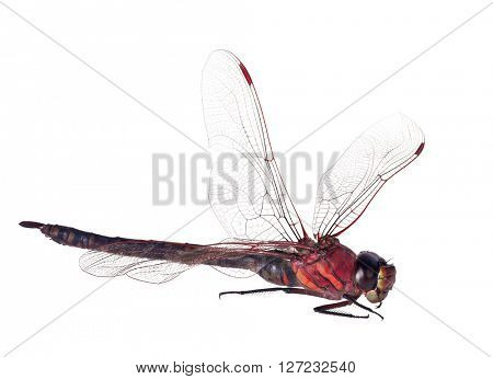 large red dragonfly isolated on white background