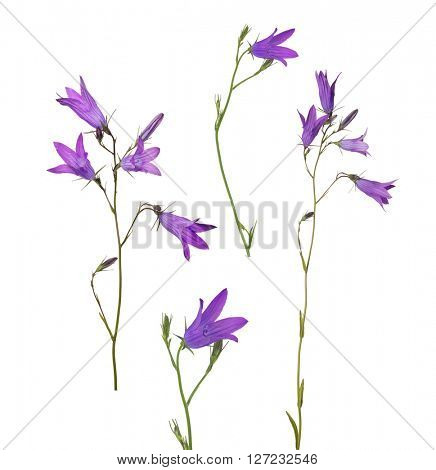 set of Spreading bellflowers isolated on white background
