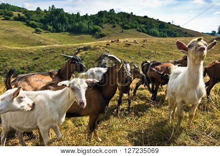 Brown and white goats on a meadow at summer sunny day, Pester plateau, southwest Serbia ** Note: Shallow depth of field