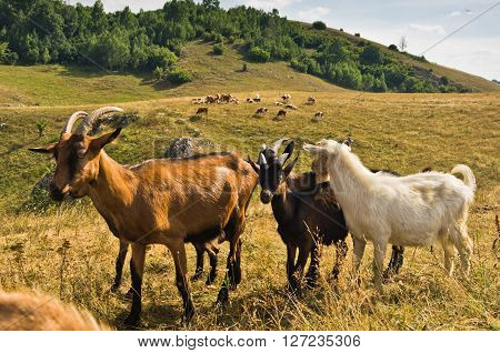 Brown and white goats on a meadow at summer sunny day, Pester plateau, southwest Serbia ** Note: Soft Focus at 100%, best at smaller sizes