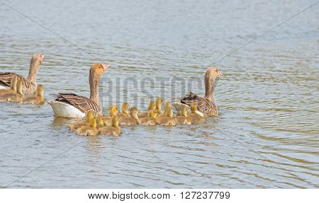 Geese and goslings along the shore of a canal