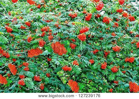 Autumn foliage. Golden Autumn. Rowan berries. woods