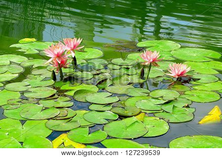 Water lily in small lake