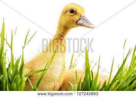 Little duck in green grass on white background