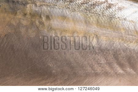 Mackerel scales close-up - natural texture and background