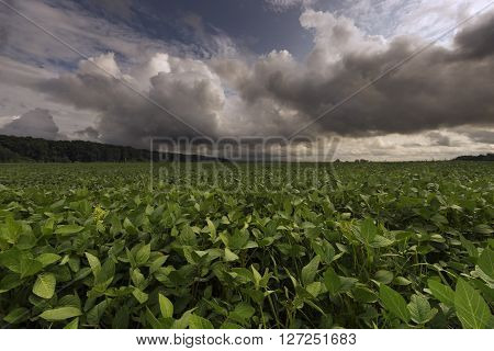 Field with bean sprouts in the summer