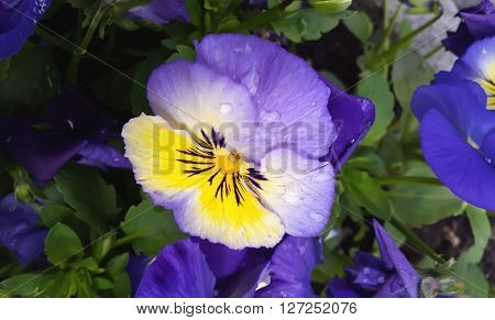 Spring time. Pansy flowers. Viola tricolor in the garden.