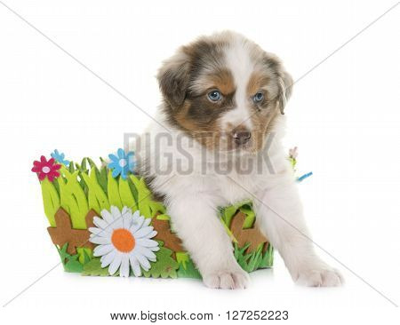 puppy australian shepherd in front of white background