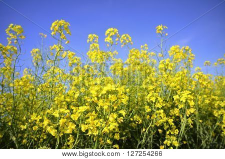 Colourful field of rapeseed .Selective focusing ,closeup